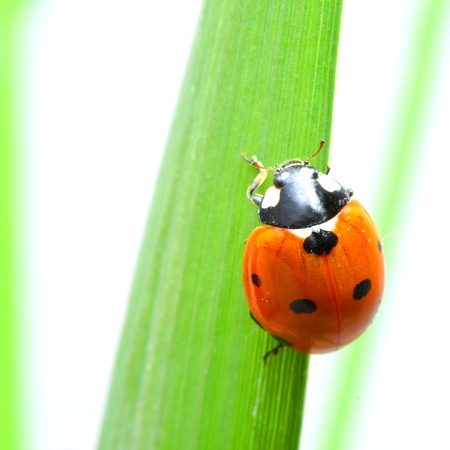 ladybug on grass isolated on white Stock Photo - 10459818