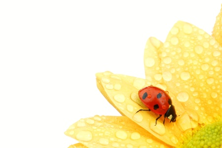 ladybug on yellow flower isolated white background photo