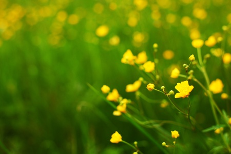buttercup flower: buttercup on green grass field Stock Photo