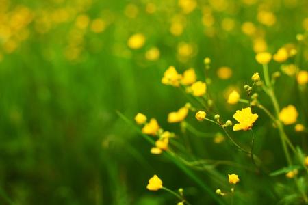 buttercup flower: buttercup on green grass field Stock Photo