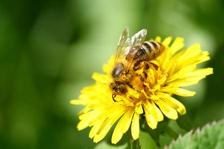macro bee on yellow dandelion flower Stock Photo - 10504285
