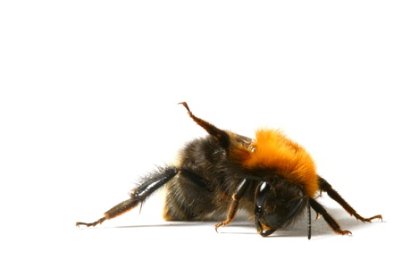 bumble: dance aerobic bumble bee isolated on white background