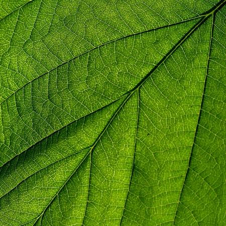 summer green leaf macro close up