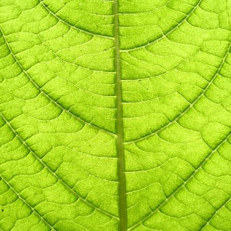 macro image: green leaf vein macro close up Stock Photo