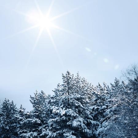 january sunrise: bosque de pinos en la nieve
