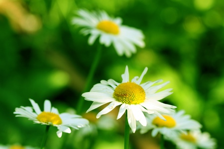 camomile daisy flowers nature background photo