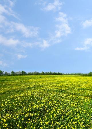 yellow dandelion green field nature background photo