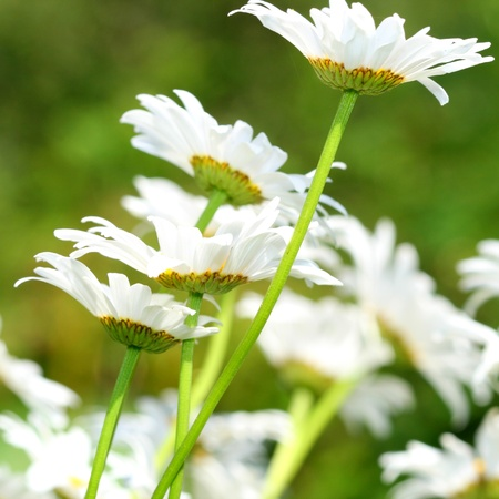 oxeye: camomile daisy flowers nature background