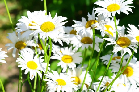 ox eye: camomile daisy flowers nature background