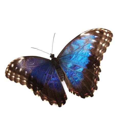 morpho menelaus: azul morfo aisladas sobre fondo blanco Foto de archivo