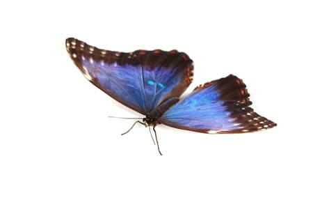 upclose: blue morpho isolated on white background Stock Photo
