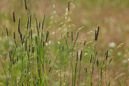 spikelets of oats macro close up Stock Photo - 10940214