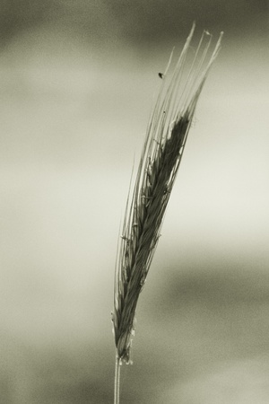 spikelets: spikelets of oats macro close up