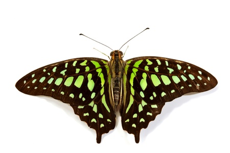 Graphium isolated on white background Stock Photo - 10939891