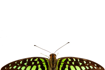 Graphium isolated on white background photo