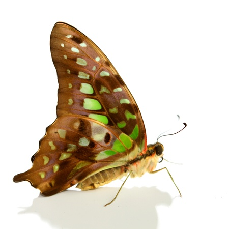Graphium isolated on white background Stock Photo - 10939889