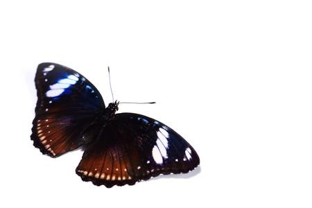 hypolimnas bolina isolated on white background photo