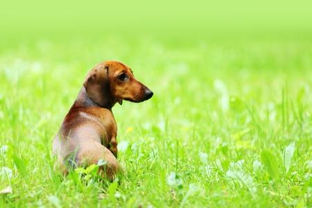 dachshund on green grass close up Stock Photo - 10940145