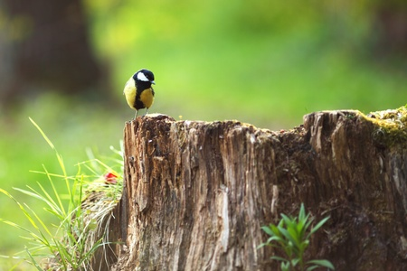 chickadee sitting on a stump in forest