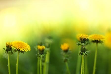 dandelion macro close up photo
