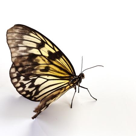 butterflies flying: leuconoe idea aislada de cerca