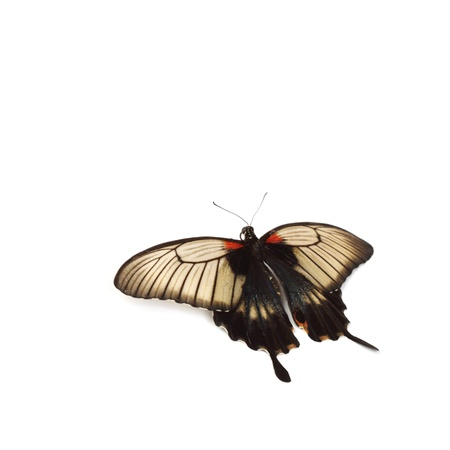 papilionidae: Papilio Lovii  isolated on white Stock Photo