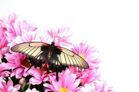 Papilio Lovii  on the flowers Stock Photo - 10963815