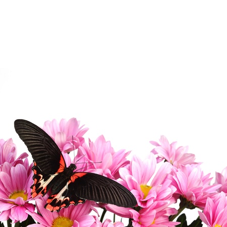 papilionidae: Papilio rumanzovia  on the flowers Stock Photo