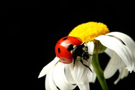 ox eye: summer ladybug on white camomile