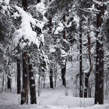 winter wallpaper: �rboles de invierno en la nieve de fondo blanco