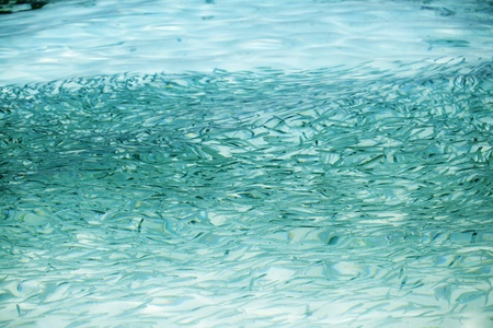 anchovy fish: many small fish in the clear water of the ocean