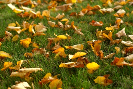 last autumn yellow leaves on grass photo