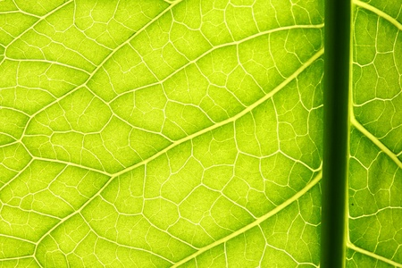 green leaf vein macro close up Stock Photo - 11146963
