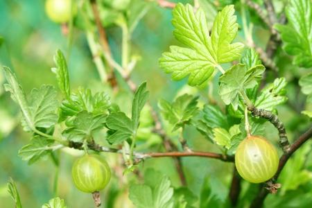 gooseberry bush: uva spina cespuglio Archivio Fotografico