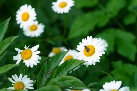 camomile daisy flowers nature background photo