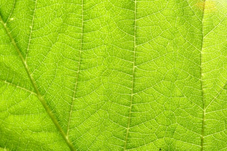 green leaf vein macro close up Stock Photo - 11213170