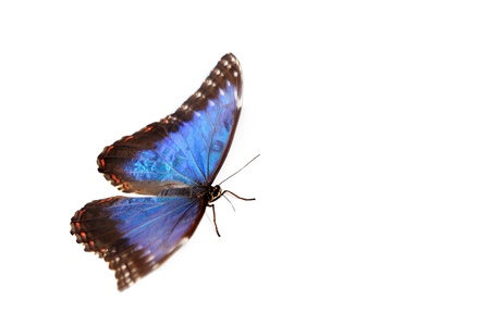 morpho menelaus: blue morpho isolated on white background Stock Photo