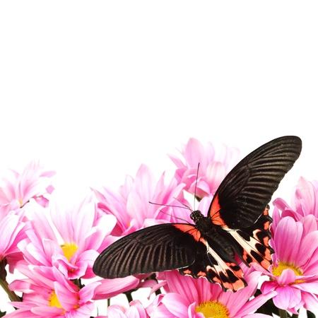 Papilio rumanzovia  on the flowers photo