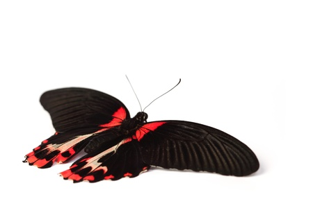 morpho: Papilio rumanzovia  isolated on white