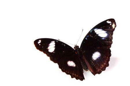 hypolimnas bolina isolated on white Stock Photo - 11372541