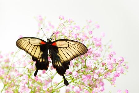 Papilio Lovii  on the flowers photo