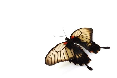 Papilio Lovii  isolated on white photo