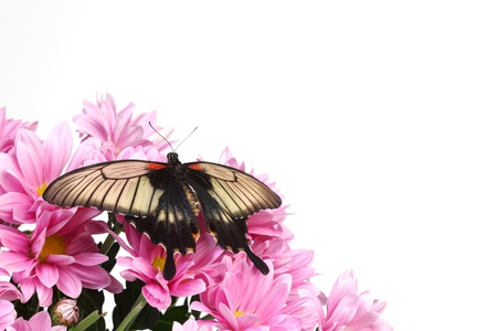 Papilio Lovii  on the flowers Stock Photo - 11372124