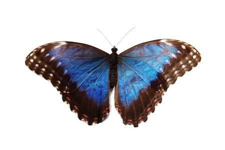 morpho: blue morpho isolated on white background Stock Photo