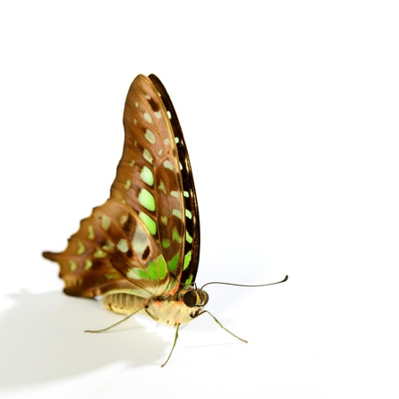 Graphium isolated on white background Stock Photo - 11392066