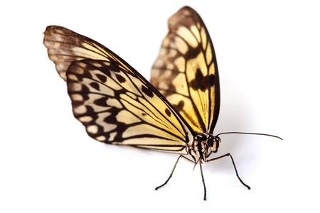 mariposas volando: leuconoe idea aislada de cerca
