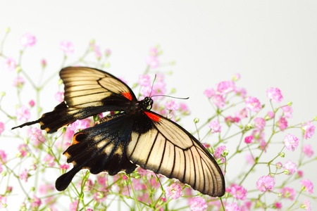 papilionidae: Papilio Lovii  on the flowers