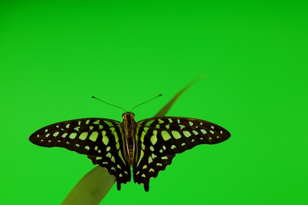 Graphium on green grass close up photo