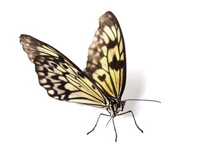 yellow butterfly: idea leuconoe isolated close up Stock Photo