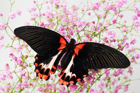 Papilio rumanzovia  on the flowers photo